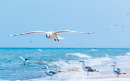 Gulls flying on the beach. Ocean waves and yellow sand Stock Images