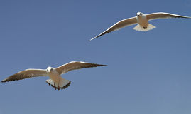 Gulls flying in blue sky Stock Photos