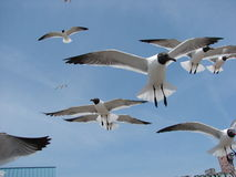 Gulls flying fast. Frenzy feeding on a beach with seagulls coming from near and far stock photo