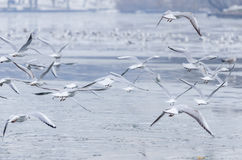Gulls flying Stock Photography