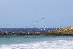 Gulls flying over coast, Falkland Islands. Royalty Free Stock Photo