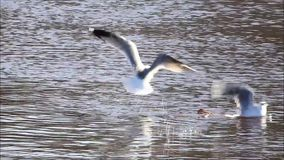 Gulls flying over water stock video