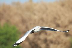 Gulls is flying. Seagulls fly in the forest royalty free stock photo
