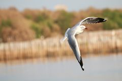 Gulls flying. Seagulls fly over the sea stock photos