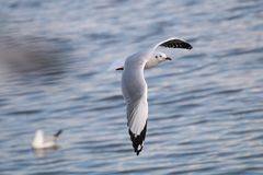 Gulls is flying. Seagulls fly over the sea. The Gulls is flying. Seagulls is flying over the sea in Thailand Royalty Free Stock Photography