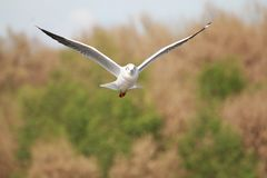 The Gulls is flying. Seagulls fly in the forest royalty free stock photos