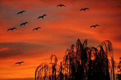Gulls flying at sunset. A flock of gulls flying at sunset in the flaming sky stock photography
