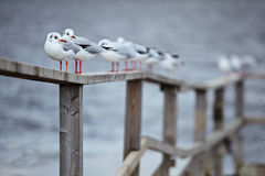 Gulls in formation. Gulls sit on the sea border Royalty Free Stock Images