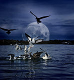 Gulls Gathering At Night Under Full Moon Stock Photos