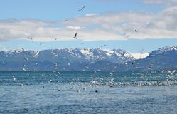 Gulls with glacier in the background Royalty Free Stock Photo