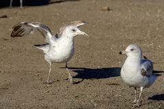 Gulls on the ground Royalty Free Stock Photography