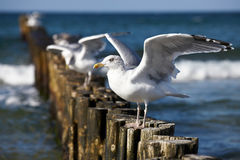 Gulls on groynes Royalty Free Stock Photo