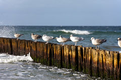 Gulls on groynes Royalty Free Stock Photos