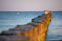 Gulls on groynes in the Baltic Sea Royalty Free Stock Photos