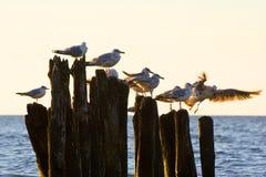 Gulls on groynes in the surf on the Polish Baltic coast Royalty Free Stock Photos