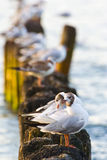 Gulls on groynes Royalty Free Stock Images
