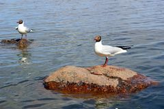 Gulls in the Gulf of Finland Stock Photo
