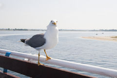 Gulls Royalty Free Stock Photos