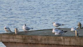 Gulls in the harbor, cleaning feathers stock footage