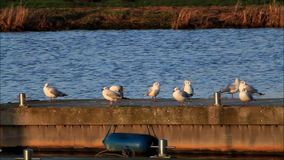 Gulls in a harbor in the evening sun stock video footage