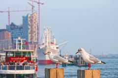 Gulls. In harbor of hamburg Royalty Free Stock Images