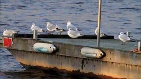 Gulls in harbor, seagull, evening sun stock footage