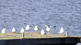 Gulls in harbor, seagull, evening sun stock video footage