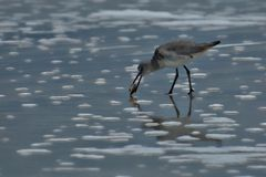 Sandpipers will forage for prey most of the daylight hours