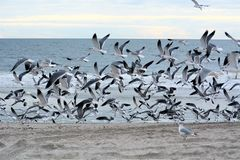 Gulls have unhinging jaws which allow them to consume large prey.
