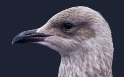 Gulls Head Stock Photography