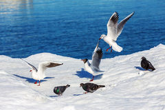 Gulls on ice Stock Photography