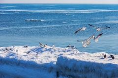 Gulls on ice Royalty Free Stock Images