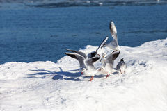 Gulls on ice Stock Photo