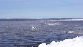 Gulls on ice floe in lake stock video