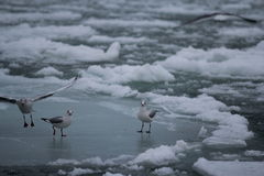 Gulls on the ice Royalty Free Stock Images