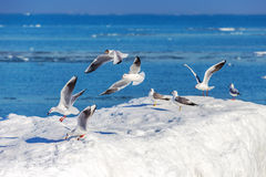Gulls on ice Stock Images
