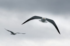 Gulls at Isla Victoria Royalty Free Stock Photos