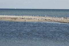 Gulls on the island. Flock of seagulls on a sandbar in front of the beach Royalty Free Stock Images