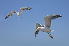 Gulls isolated on blue Stock Image