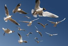 Gulls isolated on blue Royalty Free Stock Image
