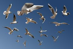 Gulls isolated on blue Stock Photo
