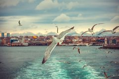 Gulls in Istanbul photo from the ferry. A flock of seagulls Stock Photos
