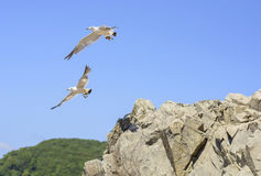 Gulls jumped off the cliff Royalty Free Stock Photography