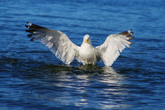 Gulls on Lake Baikal. Seagull in flight at Lake Baikal. Chivyrkuisky zaliv.sibir, Buryatia Stock Images