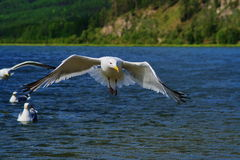 Gulls on Lake Baikal. Seagull in flight at Lake Baikal. Chivyrkuisky zaliv.sibir, Buryatia Royalty Free Stock Images
