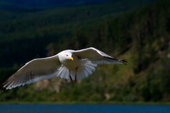 Gulls on Lake Baikal. Seagull in flight at Lake Baikal. Chivyrkuisky zaliv.sibir, Buryatia Stock Photos