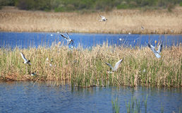 Gulls on the lake build nests. Stock Photos