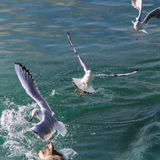 Gulls at the lake. Seagulls flying over the water of the lake Stock Photo