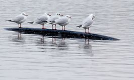 Gulls on the lake stock photography