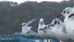 Gulls land on a rail stock video footage